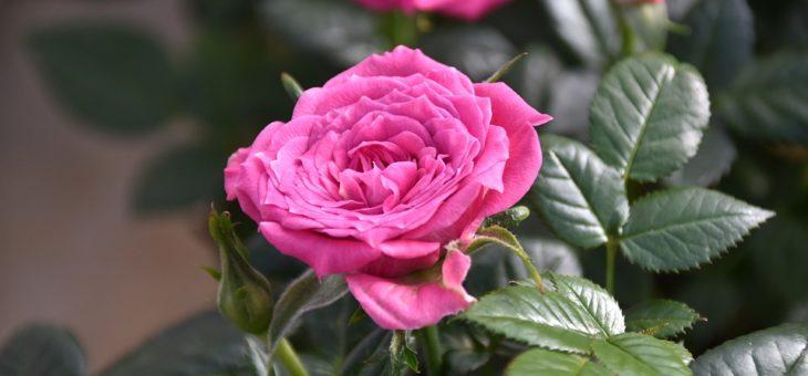 Quelques conseils pour la plantation des rosiers