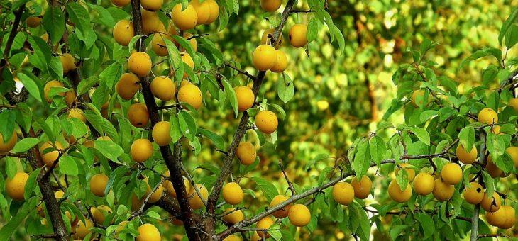 L'essentiel à savoir sur l'élagage des arbres fruitiers