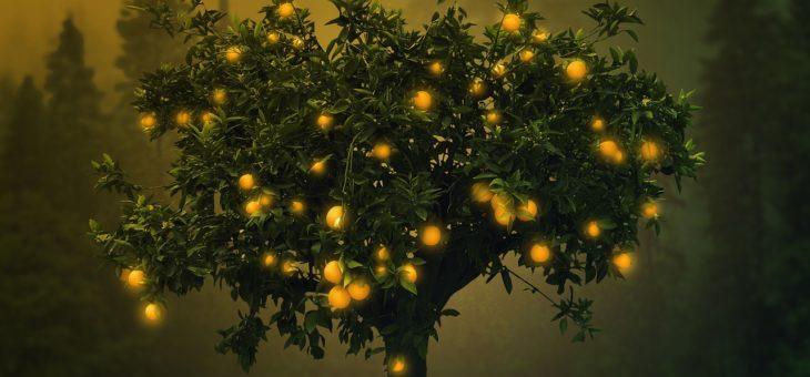 Un oranger en pot ou en sol?